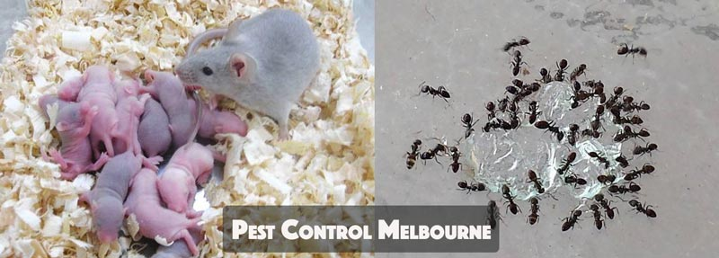 Pest Control Kangaroo Ground